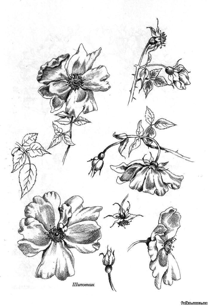 квіти шипшини фото